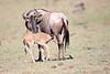 Wildebeest_Nabiosho_2018_Asilia__0074