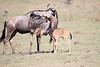 Wildebeest_Nabiosho_2018_Asilia__0021