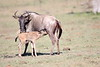 Wildebeest_Nabiosho_2018_Asilia__0044
