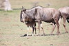 Wildebeest_Nabiosho_2018_Asilia__0035