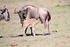 Wildebeest_Nabiosho_2018_Asilia__0046