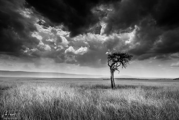 Lone tree, Masai Mara