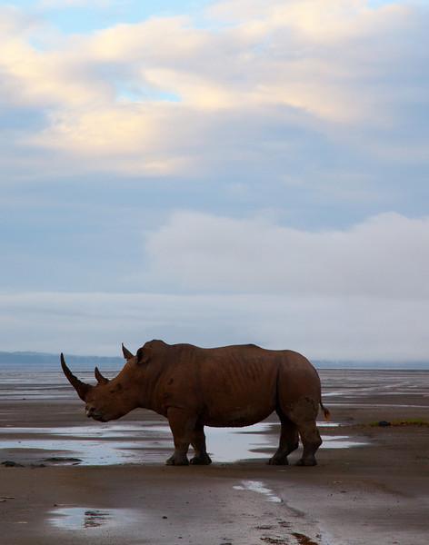 lone black rhino