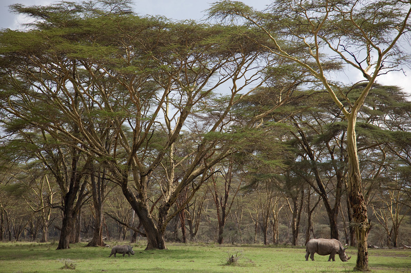 White rhino and baby in the acacia trees