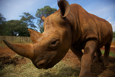This rhino was abandoned by his mother as a baby because he's blind