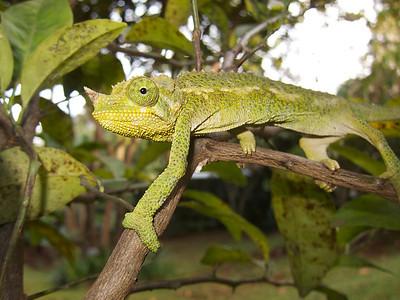 Chameleon in our garden