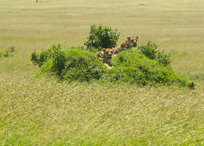 Two female lions taking an afternoon snooze