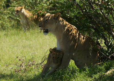 Mama lion and her cub