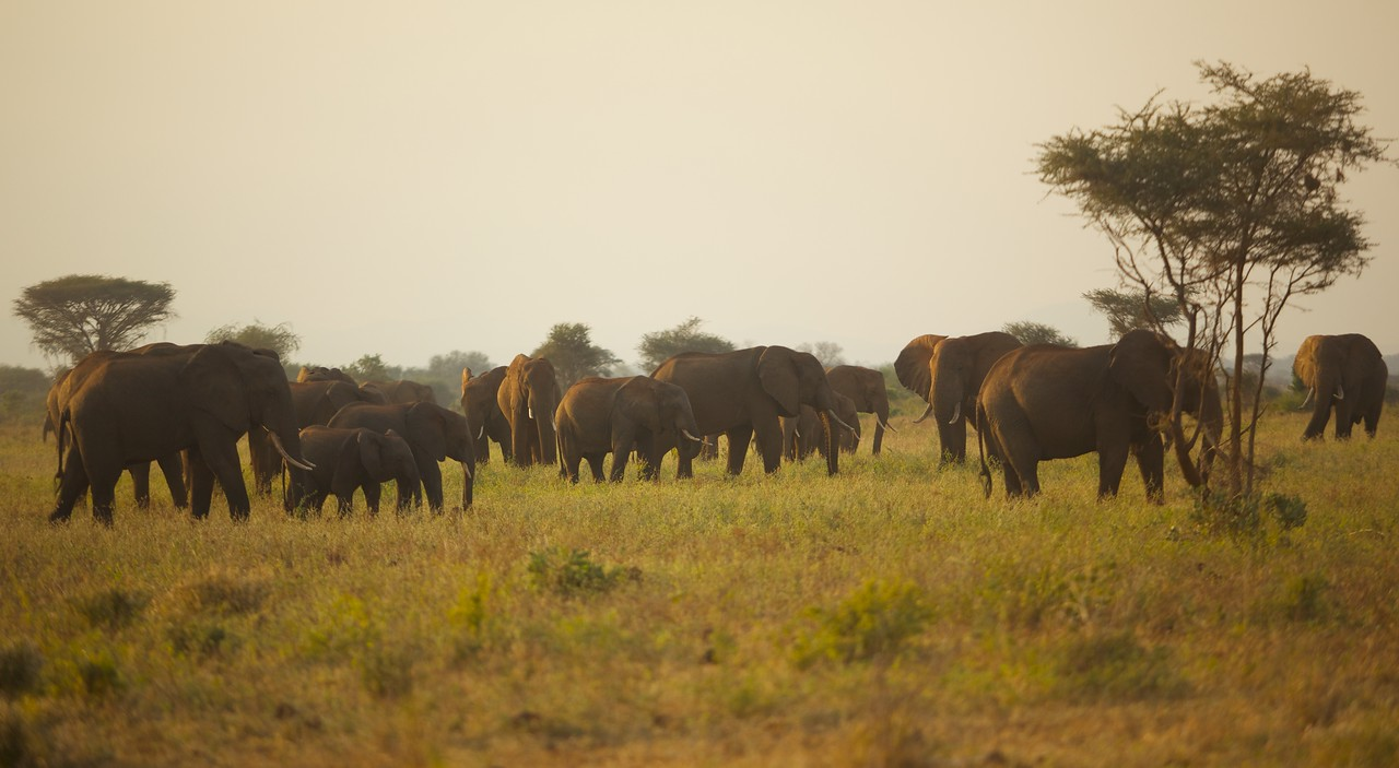 Second herd of more than 60 elephants