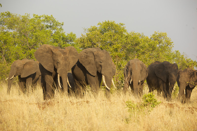 One herd of about 25 elephants