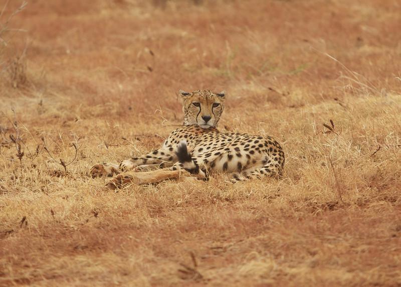 Chillin' Cheetah
