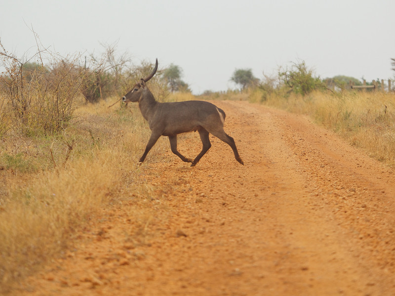 Waterbuck crossing