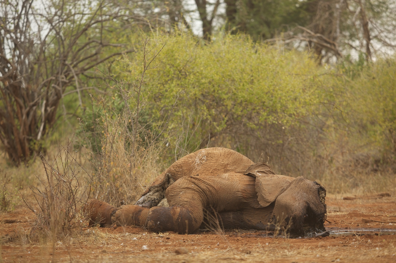 This elephant died of old age about a week earlier. The lions had finished eating by the time we arrived.