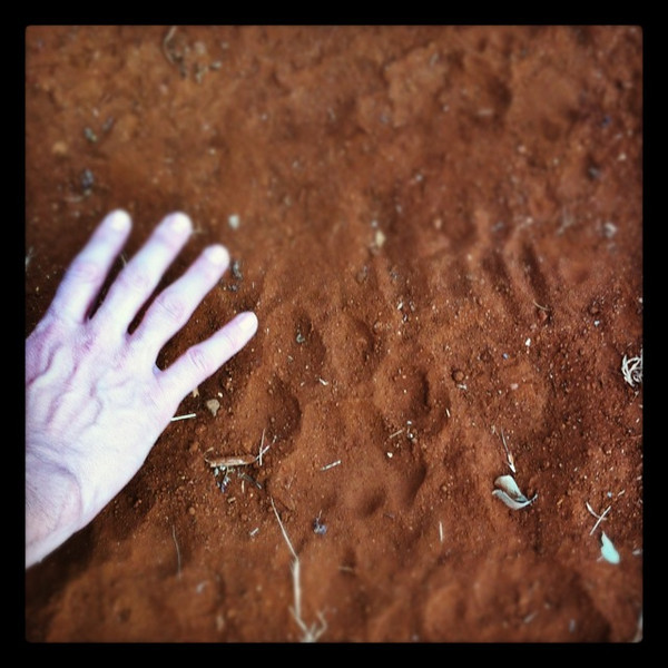 Found these prints around our camp site. Lions and Hyenas visited in the night.