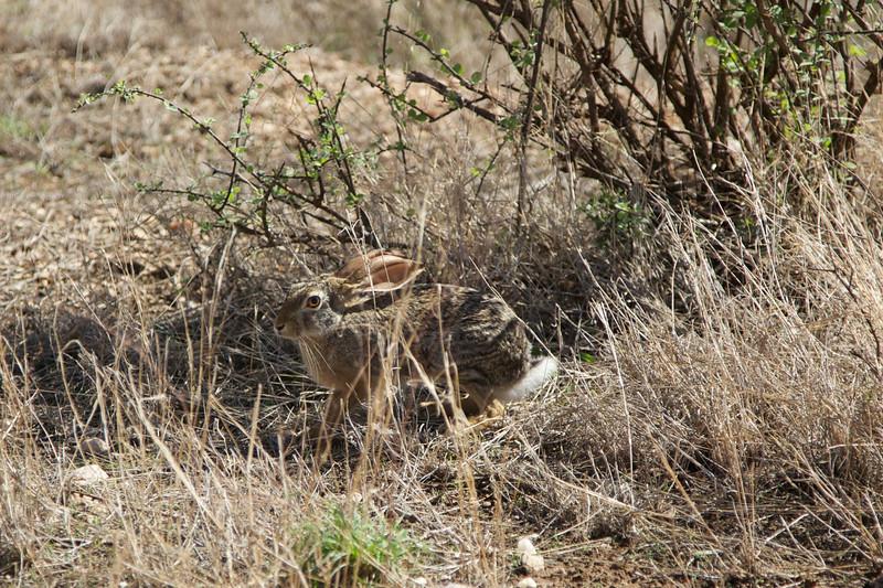 It's wabbit season (Cape Hare)