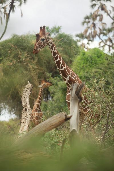 Reticulated Giraffes aka Somali Giraffes