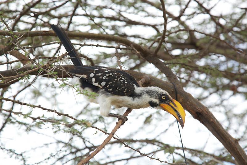 Eastern yellow billed Hornbill