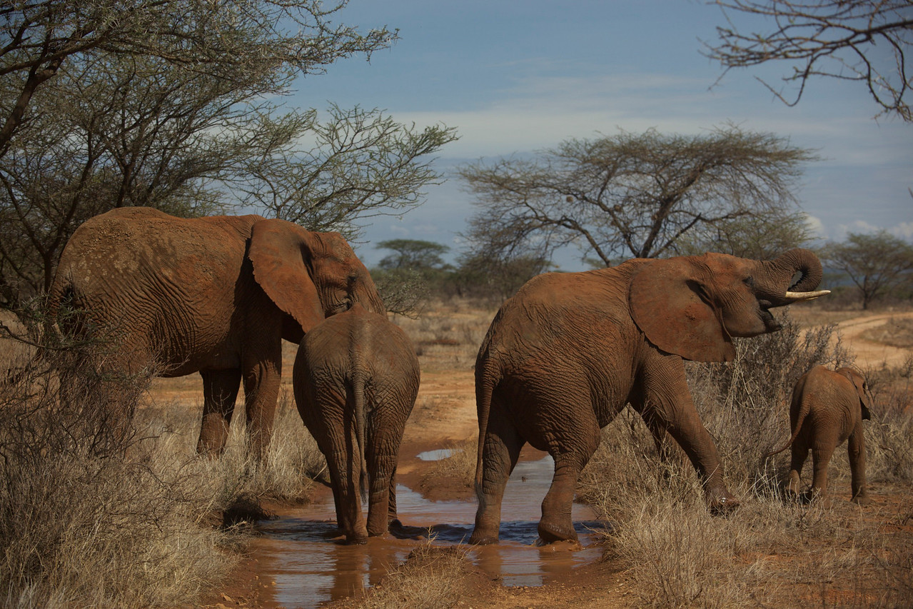 Elephants in Buffalo Springs National Reserve