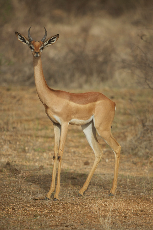 Gerenuk (aka Waller's Gazelle) are a long necked species of antelope