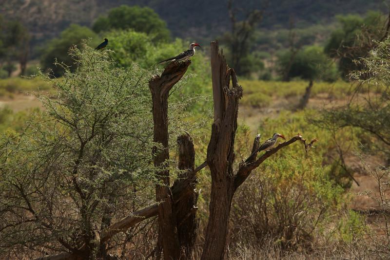 Red-billed Hornbills