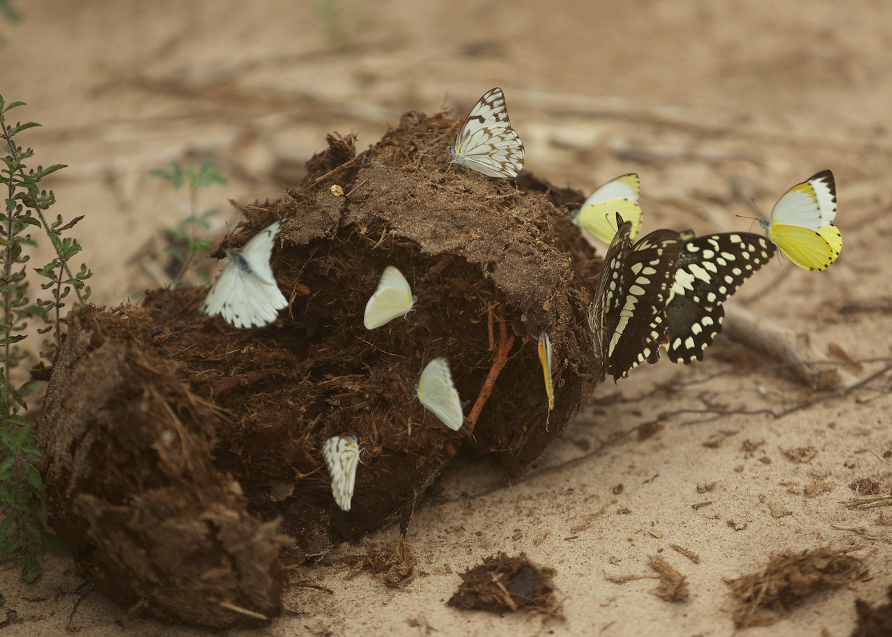 Apparently butterflies love to eat elephant poo!
