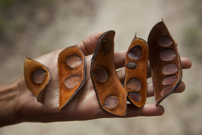 1,2,3,4,5 - locals use these seed pods to teach children how to count