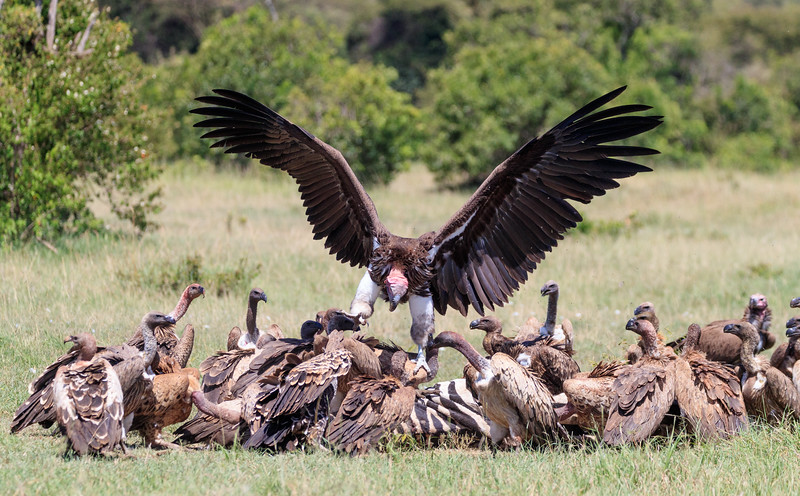 A bonaza for nearly two hundred vultures - a dead zebra.  Lappet-faced vultures (the one just landing) are the largest and have massive bills capable of tearing through the skin of carcasses