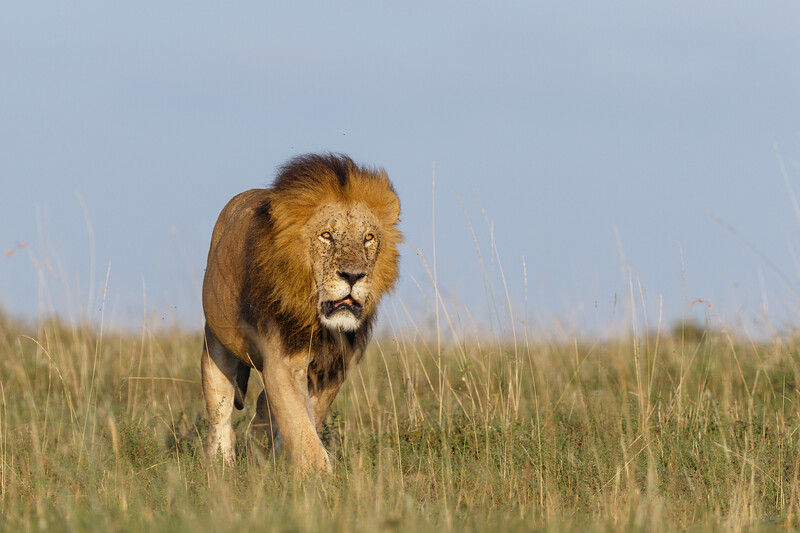 A well-fed pride male heading for shade in the Mara National Reserve