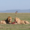 These two male lions had taken down a topi, it was the rutting season so topi lose concentration and are easy prey