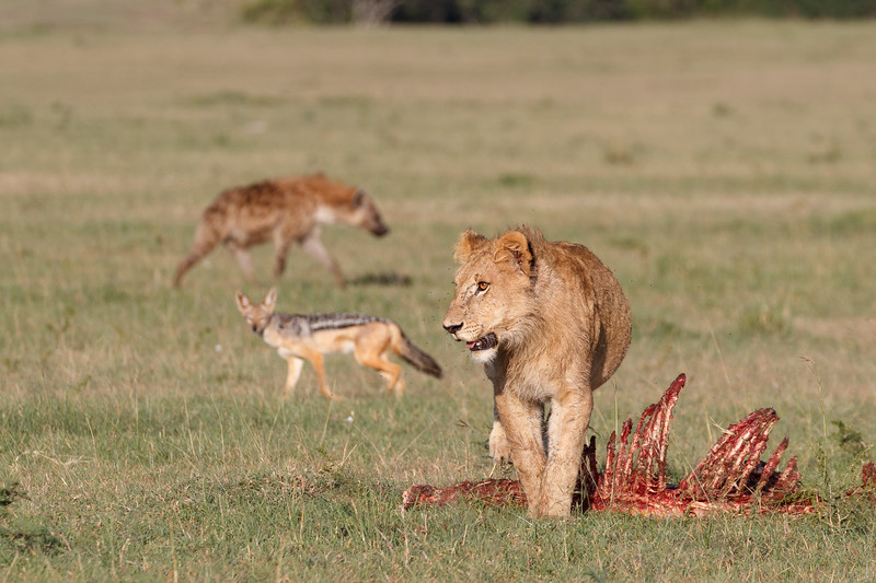 Scavengers were waiting for their chance as the last lion left the carcass