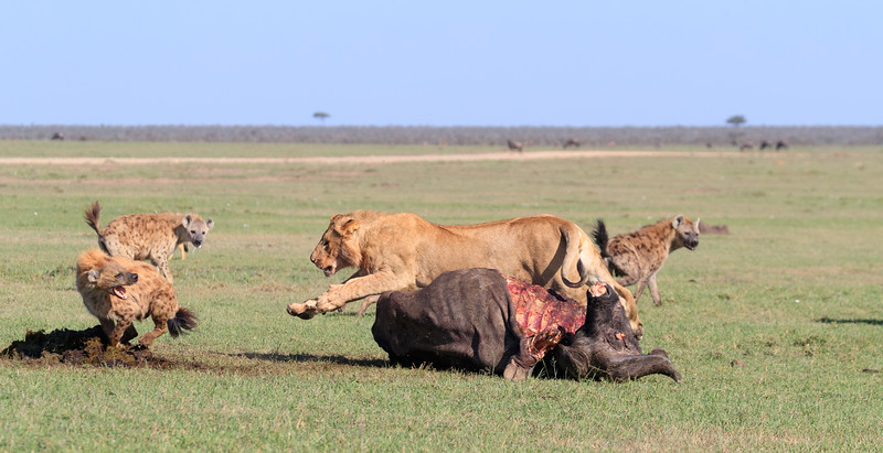 This subadult male did not want to give up the carcass, 4 of 5