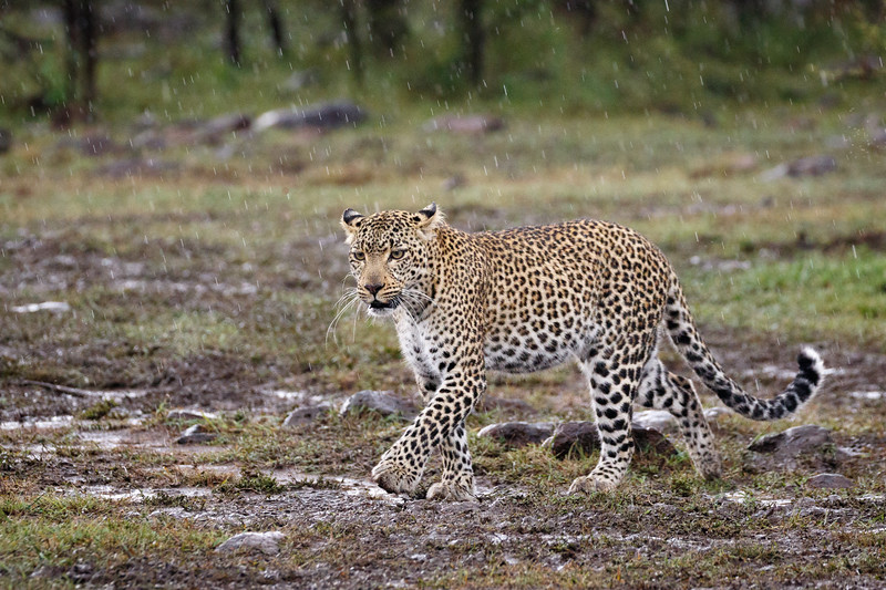 A well known leopard in the National Reserve as well as Olare Motorogi Conservancy - Fig