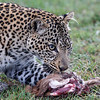 She recovered it while watching the hyenas carefully