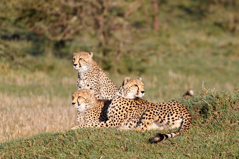 The mother and two cubs moved on to a termite mound to scan for prey