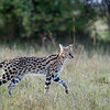 We were thrilled to spend time with a serval which was hunting at dusk