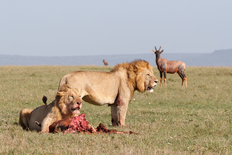 As the lions feasted on one topi carcass other topi looked on