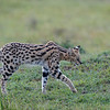 Long legs, a short tail, huge ears, long body...  perfect adaptations for hunting
