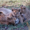 Two cubs in the Mara North Conservancy pestering their sleeping mother