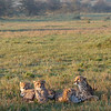 Wake-up time for a cheetah family in Mara North