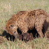 For all their justified reputation as ferocious predators, hyenas are gentle mothers, giving birth to usually two cubs.