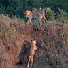 Lions climbing out of the river bed in the Mara National Reserve