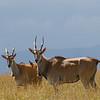 Eland are the largest African antelope but surprisingly skittish
