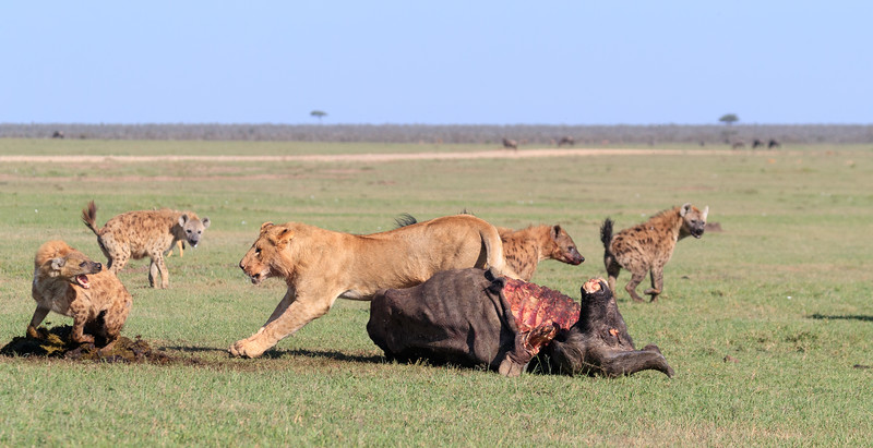 This subadult male did not want to give up the carcass, 5 of 5