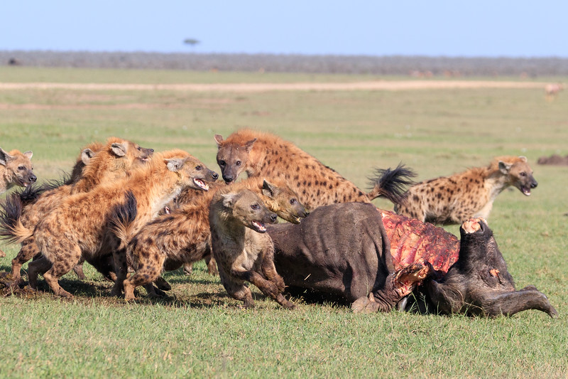 And then hyenas, over twenty of them