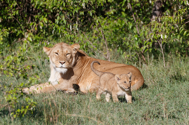 This lioness in Naboisho Conservancy was introducing her one remaining cub to other pride members for the first time
