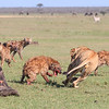 This hyena had a lucky escape....