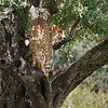 A favourite lookout tree for this male cheetah