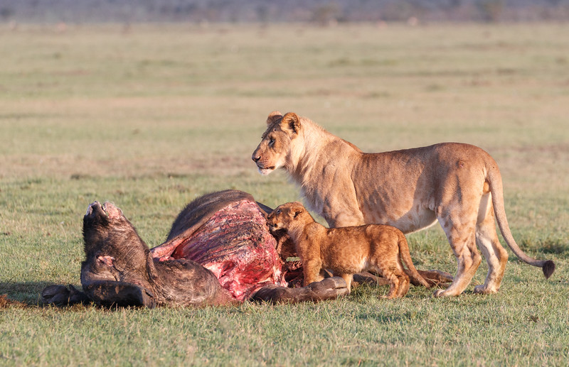 A subadult male and a cub sharing a buffalo carcass.  The other pride members were replete and sleeping in the shade