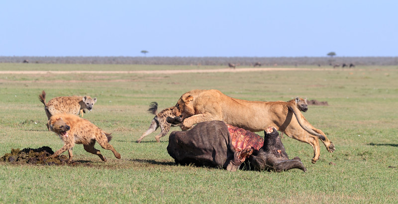 This subadult male did not want to give up the carcass, 3 of 5