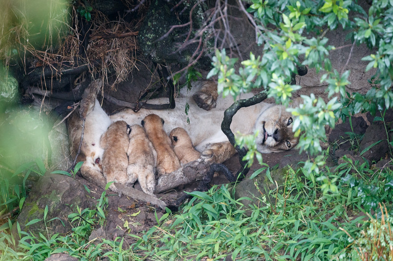 We found a lioness near the birth den suckling her four cubs. They were under one week old and their eyes were not yet open.